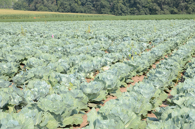 Cabbage plants at the UW-madison Arlington Agricultural Research Station