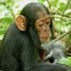 Photo 的 a two-year-old chimp named Betty